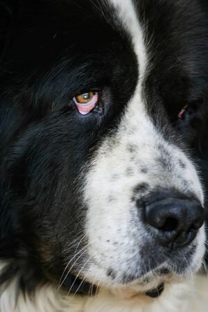 tired eyes: A very old dog with sad and tired eyes. Stock Photo