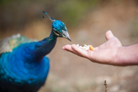 peacock wheel: A peacock being fed by a human with a piece of bread. Stock Photo