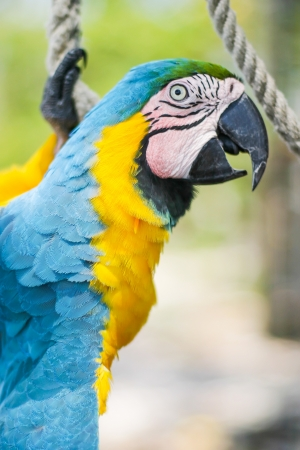two parrots: A blue and yellow parrot swinging on a rope.