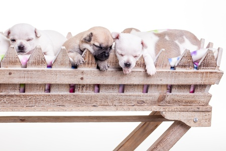 A few small chihuahua puppies laying in a basket. Stock Photo