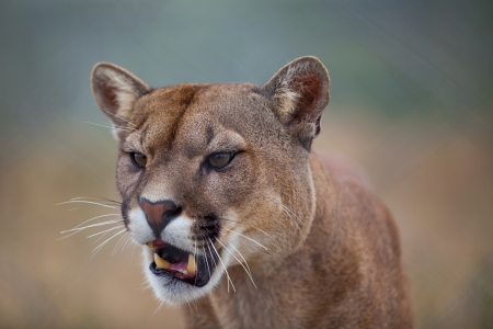 a mountain lion watching closely with his mouth slightly open photo