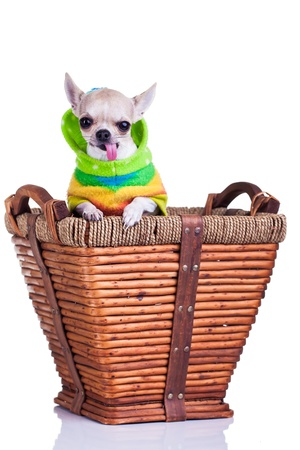 winder: a cute chihuahua peeking out of a basket wearing a colorful winder coat
