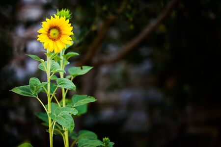 helianthus annuus: image of a beautiful sundflower brightly visisble in the shadows of the garden