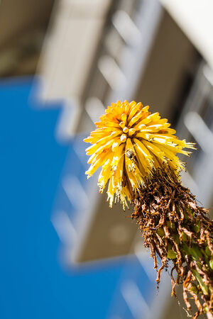 an image of a yellow flower viewed from the corner with a honey bee collecting nectar and a building in the background Stock Photo