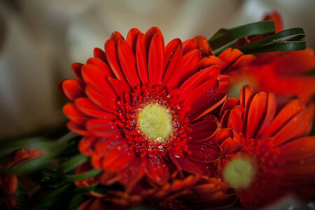 close-up image of beautiful red flowers with water droplets on thier petals Standard-Bild