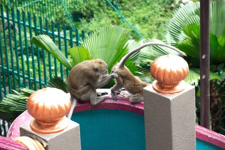 Two strange monkeys in Batu Caves