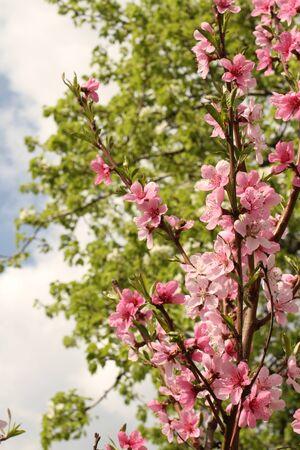 peach tree: Peach Tree Spring Garden Blooming