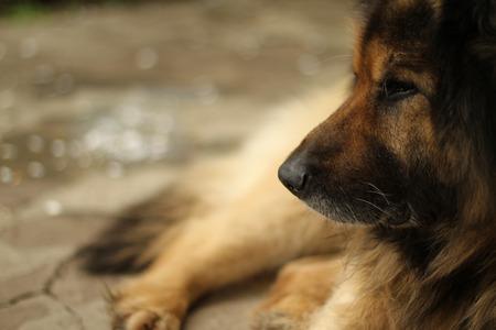 boke: German Shepherd Lying Closeup Boke Stock Photo