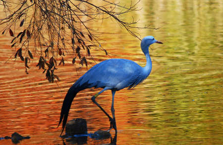 water birds: Blue crane wading in shallow water