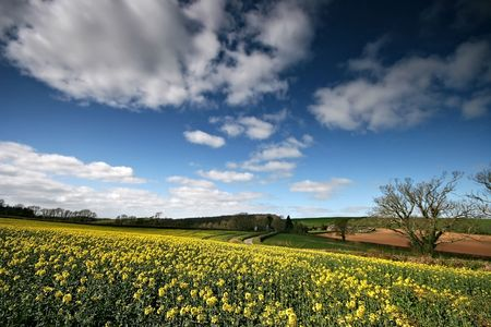 rapeoil: A beautifull field of a yellow rapeoil seed crop contrasts against the blue of the sky.