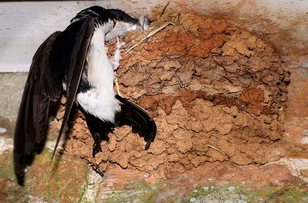 A House Martin (Delichon urbica) brings food to the nest to feed its young. Reklamní fotografie - 6233172