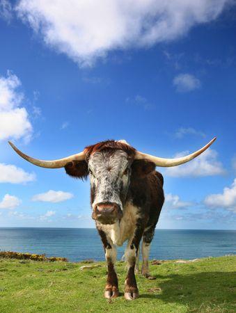 longhorn cattle: Hardy Longhorn ganado pasta las gram�neas duras en los acantilados de Cornualles.  Foto de archivo