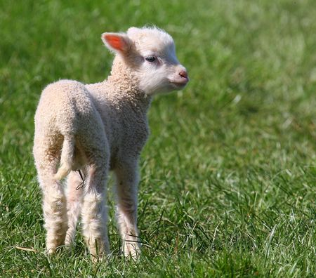 A free range Lamb is a familiar sight in the Devonshire countryside in the springtime. Stock Photo