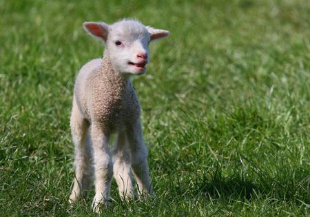 familiar: A free range Lamb is a familiar sight in the Devonshire countryside in the springtime. Stock Photo