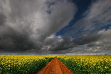 A red soil Track through Rapeseed flower field contrasts with yellow of the crop. photo