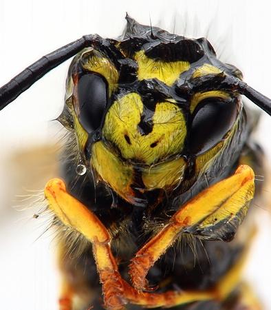 Common Wasp (Vespula vulgaris) emerging from water photo