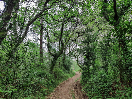Forest track with ivy covered trees in the sunshine