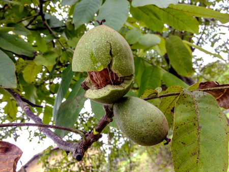 Walnut Tree Grow waiting to be harvested: Ripe nuts of a Walnut tree