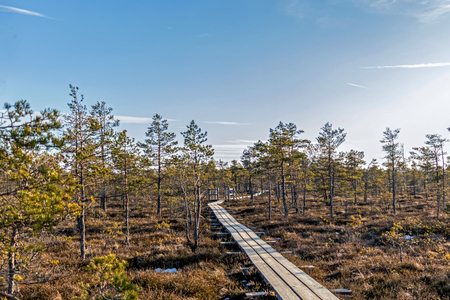 Wooden footpath on the bog with autumn colored flora of Kemeri Great swamp wetland in Kemeri national park, Jurmala, Latvia, Northern Europe