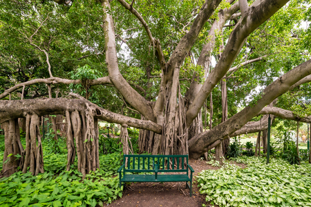 A green park bench in front of a large banyan tree Stock Photo