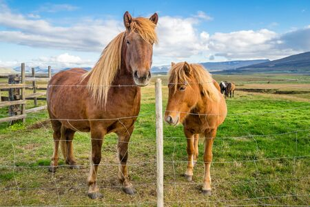 An adult and juvenile Icelandic horses in a field in rural Iceland. Stock Photo