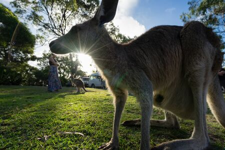 joey: A kangaroo is framed by the setting sun Stock Photo