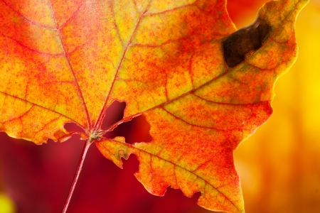 holey: Autumn colors.Big red-yellow holey maple leaf