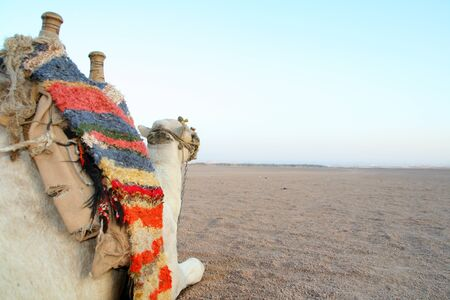 Camel in desert ready to ride photo
