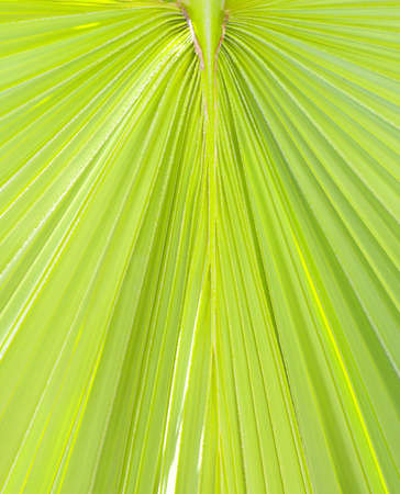 Lush green palm leaf. Background or texture Stock Photo - 18050826