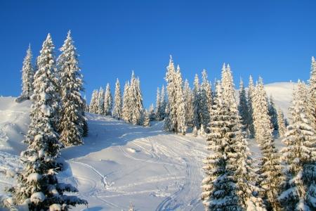 꼭대기가 눈으로 덮인: 겨울 산에 덮인 소나무
