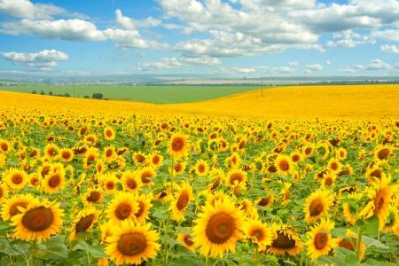 a sunflower: Sunflower field and cloudy blue sky