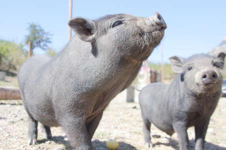 curios: Close-up of curios piglets on farm Stock Photo
