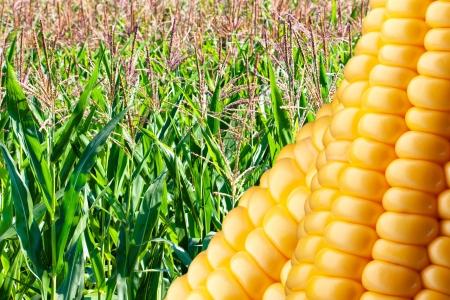 planta de maiz: Campo de maíz maduro con vencimiento en el sol del verano