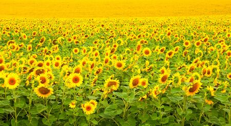 Sunflower field. Texture or background photo