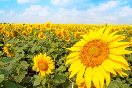 Sunflower field and cloudy blue sky photo