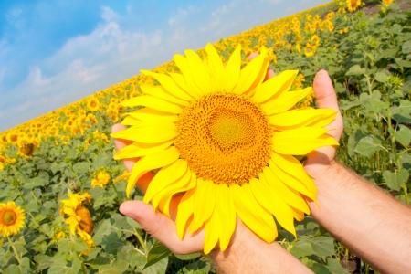 campo de flores: Girasol en las palmas de las manos