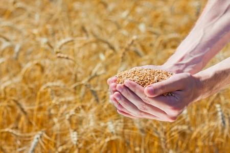 handful: Farmer hands holding ripe wheat corns against field Stock Photo
