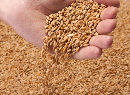 Ripe wheat seeds falling from farmer hand photo