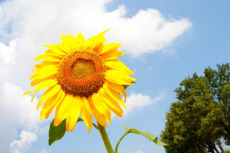 Sunflower in cloudy blue sky photo