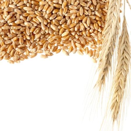 cereales: O�dos del trigo con semillas. Aislados en blanco Foto de archivo