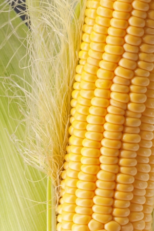 shuck: Ripe corn on the cob with green leaves