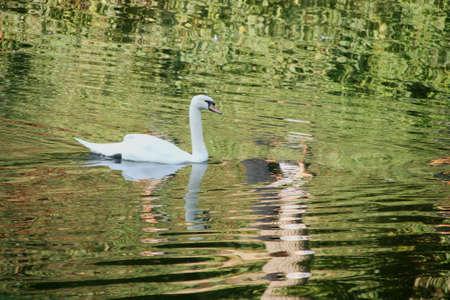 White swan swimming in lake Stock Photo - 18365613