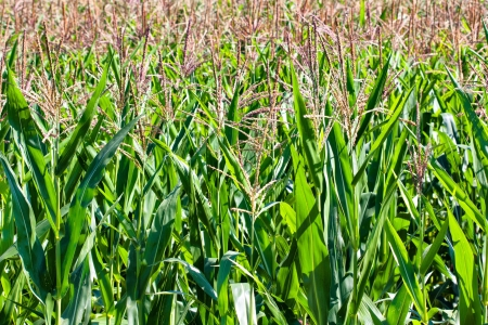 maturing: Field of ripe corn maturing in the summer sun Stock Photo