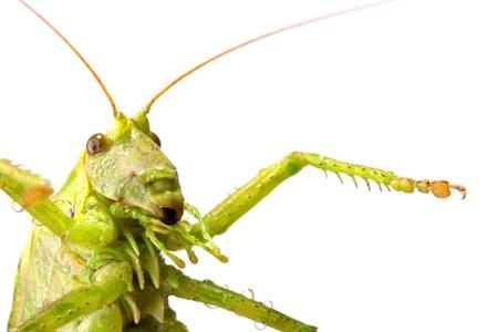 locust: Close-up of big green locust. Isolated on white