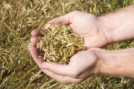 punhado: Punhado de trigo