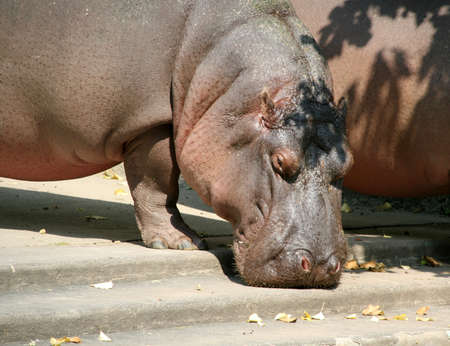 Big hippopotamus looking for eat in zoo photo