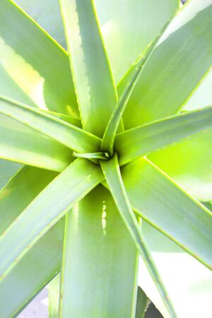 �spiked: Planta de Aloe Vera con hojas claveteadas