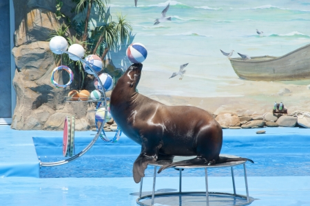 dolphinarium: Walrus with ball at dolphinarium Stock Photo