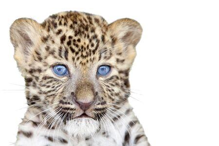 tigre bebe: Leopard cachorro aislados sobre fondo blanco Foto de archivo