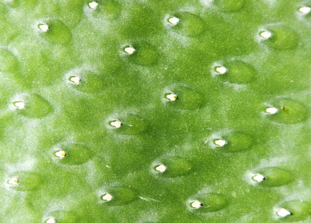 Green cactus surface. Use for texture or background photo